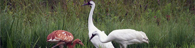 Whooping-Crane-adults-with-chick_ICF-Crane-foundation-photo-2